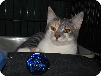 Domestic Shorthair Cat for adoption in Whiting, Indiana - Latte