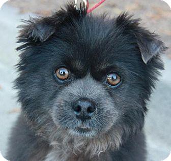 Pomeranian/Pekingese Mix Dog for adoption in Atlanta, Georgia - Furby