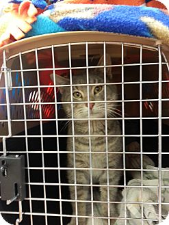 Domestic Shorthair Cat for adoption in Walnut, Iowa - Roscoe