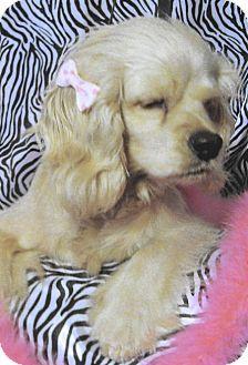 Cocker Spaniel Dog for adoption in Sugarland, Texas - Angel