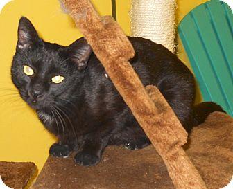 Hemingway/Polydactyl Cat for adoption in Mobile, Alabama - Ivy Morgan