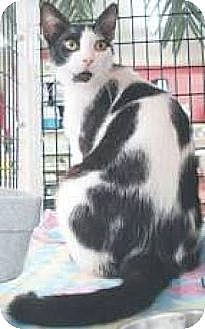Domestic Shorthair Cat for adoption in Miami, Florida - Murphy