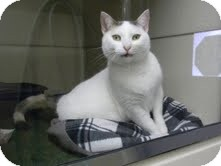 Calico Cat for adoption in Middletown, New York - Miracle