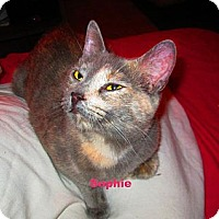 American Shorthair Cat for adoption in New York, New York - Sophie