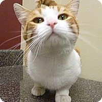 Adopt A Pet :: Hobbes - Chicago, IL