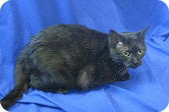 Domestic Shorthair Cat for adoption in Buena Vista, Colorado - Baby