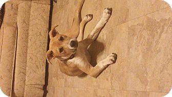 Labrador Retriever/Terrier (Unknown Type, Medium) Mix Puppy for adoption in Memphis, Tennessee - Maggie