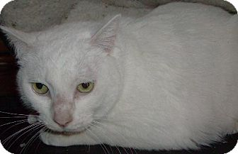 Domestic Shorthair Cat for adoption in Vancouver, Washington - Georgie