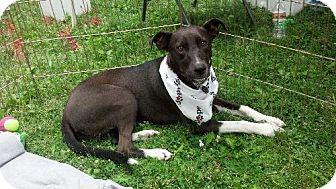 Border Collie/Labrador Retriever Mix Dog for adoption in Sparks, Nevada - Mojave