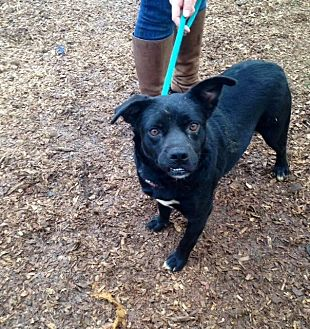 Terrier (Unknown Type, Medium)/Pug Mix Dog for adoption in McKenzie, Tennessee - O'Hail