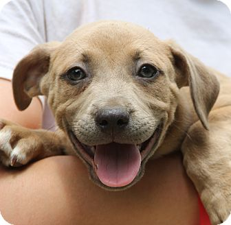 Labrador Retriever/American Staffordshire Terrier Mix Puppy for adoption in Chicago, Illinois - SILAS - extremely smart boy