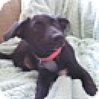 Labrador Retriever Mix Puppy for adoption in Smithton, Pennsylvania - Molly