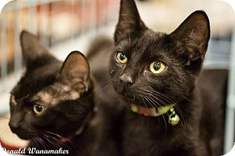 Domestic Shorthair Cat for adoption in Rancho Cucamonga, California - Camden