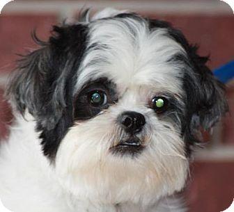 Shih Tzu Dog for adoption in Texarkana, Texas - Domino II