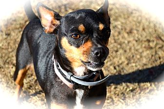 Miniature Pinscher/Chihuahua Mix Dog for adoption in Blanchard, Oklahoma - Minnie