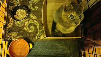 Domestic Shorthair Kitten for adoption in Chattanooga, Tennessee - Geminid