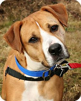 Boxer/Labrador Retriever Mix Dog for adoption in Bellingham, Washington - Tanner