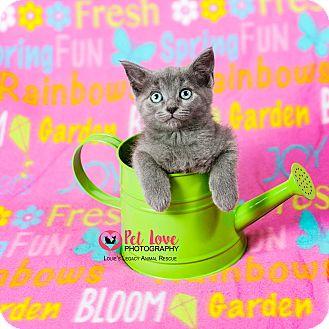 Domestic Mediumhair Kitten for adoption in Cincinnati, Ohio - London