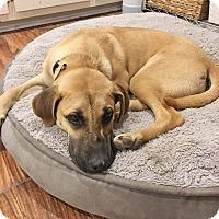 Adopt A Pet :: Scout - Marietta, GA