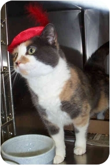 Domestic Mediumhair Cat for adoption in Culpeper, Virginia - Daisy Mae