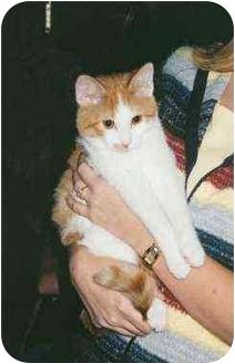 Domestic Shorthair Cat for adoption in Owatonna, Minnesota - Sampson