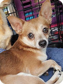 Chihuahua/Pomeranian Mix Dog for adoption in Mount Pleasant, South Carolina - Alex