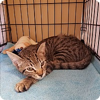 Domestic Shorthair Cat for adoption in Houston, Texas - Frasier
