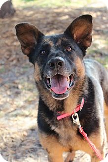 Shepherd (Unknown Type) Mix Dog for adoption in Cape Coral, Florida - Lexi