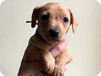 Pit Bull Terrier Mix Puppy for adoption in Philadelphia, Pennsylvania - Nick