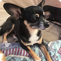 Manchester Terrier/Boston Terrier Mix Dog for adoption in Corona, California - Rosebud Mom n Baby Bella
