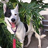 Adopt A Pet :: Shatzi - Paso Robles, CA
