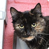 Adopt A Pet :: Sova - Sarasota, FL