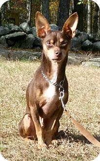 Miniature Pinscher/Chihuahua Mix Dog for adoption in Canterbury, Connecticut - Sammy
