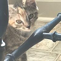 Calico Kitten for adoption in Snow Hill, North Carolina - GiGi