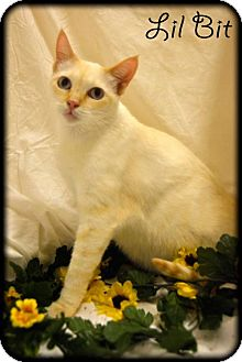 Siamese Cat for adoption in Oviedo, Florida - Lil Bit the Flame Point Siamese