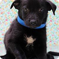 Adopt A Pet :: Raphael - Waldorf, MD