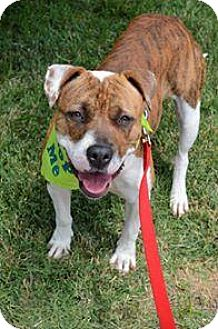 Pit Bull Terrier Mix Dog for adoption in Mission, Kansas - Frangipani