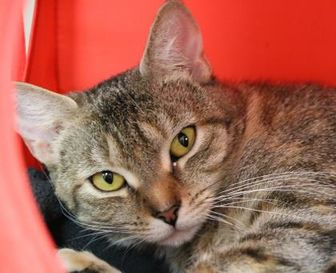Domestic Shorthair/Domestic Shorthair Mix Cat for adoption in Brooklyn, New York - Tippy