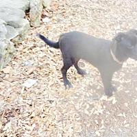 Adopt A Pet :: A423689 Stella - San Antonio, TX
