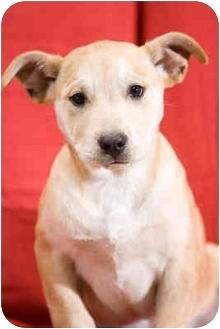 Labrador Retriever/German Shepherd Dog Mix Puppy for adoption in Portland, Oregon - Donner