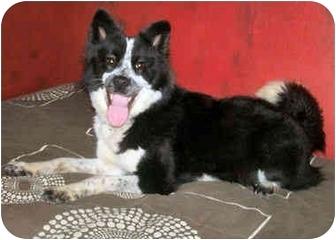 Border Collie/Australian Cattle Dog Mix Dog for adoption in Latrobe, Pennsylvania - Sue Ellen