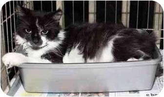 Domestic Longhair Cat for adoption in Brooklyn, New York - Carroll