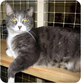 Domestic Shorthair Cat for adoption in Deerfield Beach, Florida - Eddie