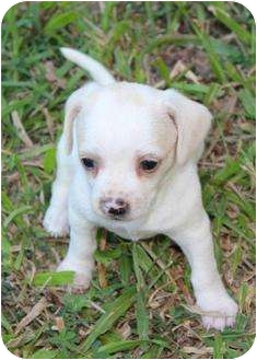 Chihuahua Mix Puppy for adoption in Cranford, New Jersey - Charlie and Elvis
