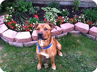 Boxer/Labrador Retriever Mix Dog for adoption in Sterling Heights, Michigan - Buddy