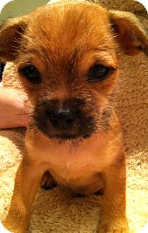 Brussels Griffon/Chihuahua Mix Puppy for adoption in Phoenix, Arizona - Solo