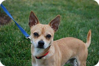 Chihuahua Mix Puppy for adoption in Derry, New Hampshire - Rocky