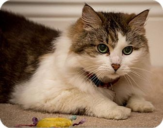 Domestic Mediumhair Cat for adoption in Anchorage, Alaska - Cinnamon