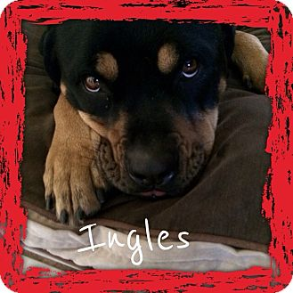 Rottweiler Dog for adoption in Gilbert, Arizona - Ingle