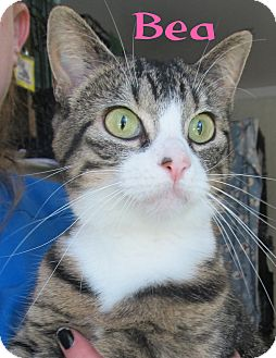 Domestic Shorthair Cat for adoption in Menomonie, Wisconsin - Bea